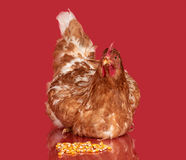 Chicken with corn seed on red background,  object, one closeup animal Royalty Free Stock Image