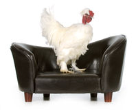 Chicken on a couch Stock Photo