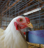 A chicken at a county fair Stock Image