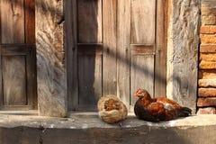Chicken couple Stock Photos