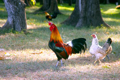 Chicken couple Royalty Free Stock Image