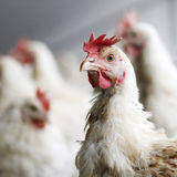 Chicken in crowded  barn Stock Photography