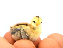 Chicken. Cute baby chicken with eggs Stock Photography