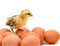 Chicken. Cute baby chicken with eggs Royalty Free Stock Photo