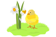 Chicken and daffodils on grass Royalty Free Stock Images