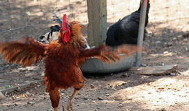 Chicken Dance. Brown rooster, flapping his wings Royalty Free Stock Photos