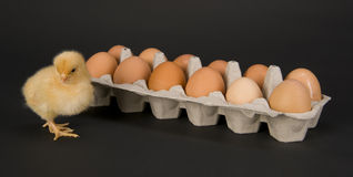 Chicken & Dozen Eggs Rhode Islane Red Stands Alone Stock Photos