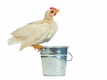 Chicken drinking from the bucket stock photography