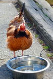 Chicken drinking water Royalty Free Stock Photo