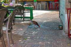 Chicken drinks water on paving stones dripping from facuet on wall near funky painted and plastic chairs and tables with unrecogni stock photo