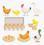 Chicken duck chick egg packaging and chicken eggs on the nests. Royalty Free Stock Images