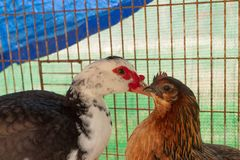 Chicken and duck. Close up view of a chicken and a duck Royalty Free Stock Photos