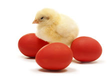 Chicken with easter eggs. Isolated easter chicken with tree red egg Stock Images