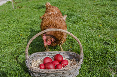Chicken and Easter eggs in basket Royalty Free Stock Image