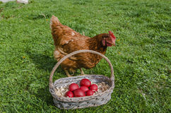 Chicken and Easter eggs basket Stock Photography