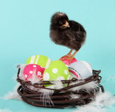Chicken and Easter Eggs Royalty Free Stock Photo