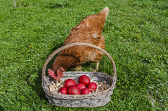 Chicken and Easter eggs. Chicken looking at the Easter eggs in a basket Royalty Free Stock Images