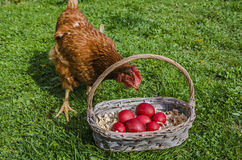 Chicken and Easter eggs Royalty Free Stock Photos