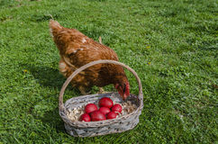 Chicken and Easter eggs Royalty Free Stock Photography
