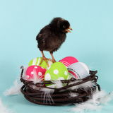 Chicken on Easter Eggs in Nest Stock Photos