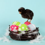 Chicken on Easter Eggs in Nest Royalty Free Stock Image