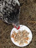 Chicken eating. A Cochin hen chuckle eating yogurt bread and seeds on a plate Stock Image