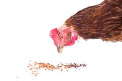 Chicken eating Royalty Free Stock Images