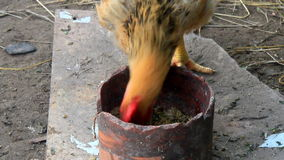 Chicken eating rice stock video footage