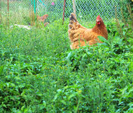 Chicken ecology farm Stock Photography