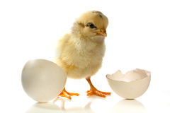 Chicken and the egg Stock Images