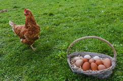 Chicken and egg basket. Chicken next to egg basket on the grass royalty free stock photo