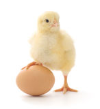 Chicken and egg Royalty Free Stock Images
