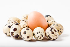 Chicken egg between bunch of quail eggs. On white background royalty free stock image