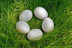 Chicken egg upon green grass Stock Image