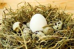 Chicken egg among quail eggs Stock Photography