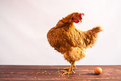 Chicken with egg. The red chicken with egg stock photo