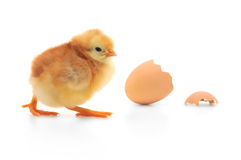 Chicken and an egg shell Stock Photos