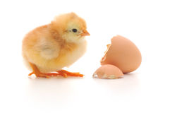 Chicken and an egg shell Royalty Free Stock Image