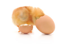 Chicken and an egg shell Stock Photography