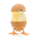 Chicken and an egg shell Royalty Free Stock Images