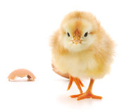 Chicken and an egg shell Stock Images