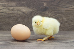 Chicken and egg Royalty Free Stock Photo