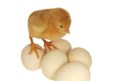 Chicken on eggs Stock Photos