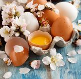 Chicken eggs and almond flowers. On  a blue wooden background Royalty Free Stock Photography