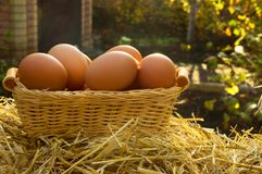 Chicken eggs on basket royalty free stock photo