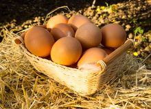 Chicken eggs on basket royalty free stock images