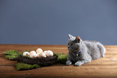 Chicken eggs and a cat Stock Photos