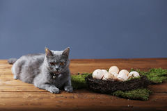 Chicken eggs and a cat Royalty Free Stock Images