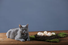 Chicken eggs and a cat Stock Photo