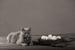 Chicken eggs and a cat Royalty Free Stock Photos